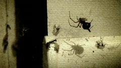 poison spider gh video (old film) - stock footage