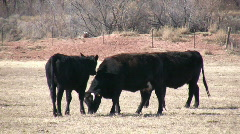 HDV: Calf Licking a Cow Stock Footage