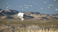 HDV: Snow Geese Flying & Landing Stock Footage