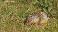 Columbian Ground Squirrel 1 Stock Footage