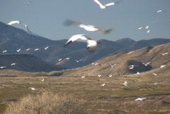 NTSC: Snow Geese Flight & Mountain Stock Footage