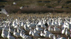 HDV: Snow Geese Crowd Stock Footage