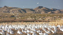 HDV: Snow Geese at Bosque del Apache Stock Footage