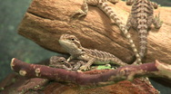 Stock Video Footage of Two baby bearded dragons