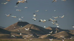 HDV: Lots of Snow Geese - stock footage