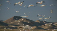 Stock Video Footage of HDV: Lots of Snow Geese