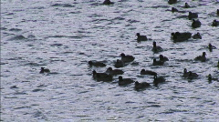 Coots 5 Stock Footage