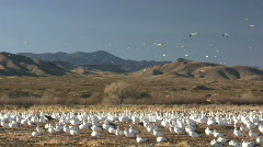 HDV: Snow Goose Landscape - stock footage
