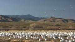 HDV: Snow Goose Landscape Stock Footage