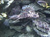 Stock Video Footage of Lion Fish