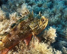 Scorpion Fish (C016) Stock Footage