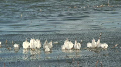 Reed with frozen ice pieces at seashore 1 Stock Footage