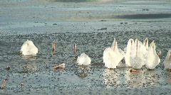 Reed with frozen ice pieces at seashore 2 Stock Footage