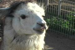 Enlightened Llama Stock Footage