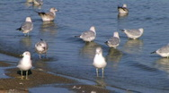 Freshwater Seagulls on Shore Stock Footage