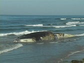Stock Video Footage of Dead Blue Whale