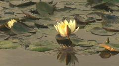 Beautiful waterlily buds Stock Footage