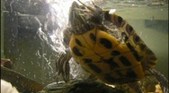 Red Ear Slider 02 Stock Footage
