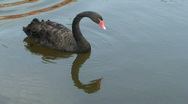Black swan and red waves Stock Footage