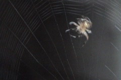 Stock Video Footage of Spider Spins Web 3