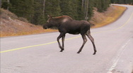 Stock Video Footage of Moose crosses road 1