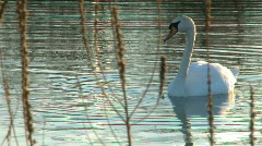 Solo Swan  Stock Footage