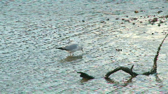 Seagull wading around at low tide Stock Footage