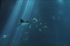 Shoal of Fish and manta Stock Footage