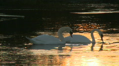 Swans at sunset Stock Footage