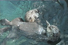 Couple of otters Stock Footage