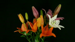 Time-lapse of opening colorful lily bouquet 1 - stock footage