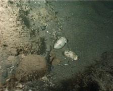 Cuttlefish (C077) Stock Footage