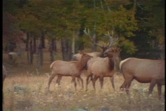 Bull elk trotting through herd Stock Footage