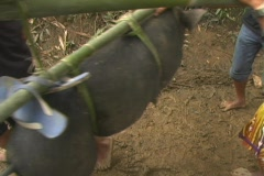 Procession of pigs Stock Footage