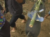 Stock Video Footage of Procession of pigs