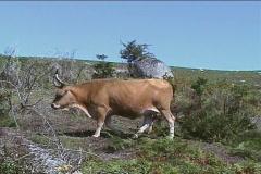 Cows graze on field Stock Footage