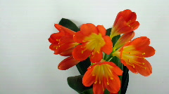 Time-lapse of growing clivia flower 2 Stock Footage