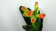 Stock Video Footage of Time-lapse of growing clivia flower 2