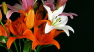 Time-lapse of orange lily opening in bouquet Stock Footage