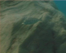 Striped Sea Bream (C125) Stock Footage