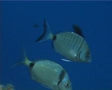 Sargo fish (C141) Stock Footage