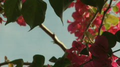 Flower of Bougainvillea  Stock Footage