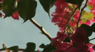 Stock Video Footage of Flower of Bougainvillea