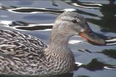 Cute duck Stock Footage