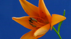 Time-lapse of orange lily opening 2 Stock Footage