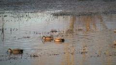 HDV: Dabbling Ducks Stock Footage