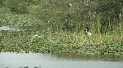 FLORIDA EVERGLADES BIRDS  Stock Footage