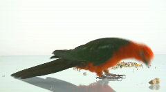 Parrot feeding on nut Stock Footage