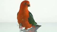 King parrot closeup Stock Footage