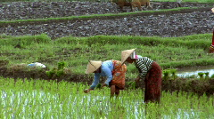 Woman plant rice tilt shot Stock Footage
